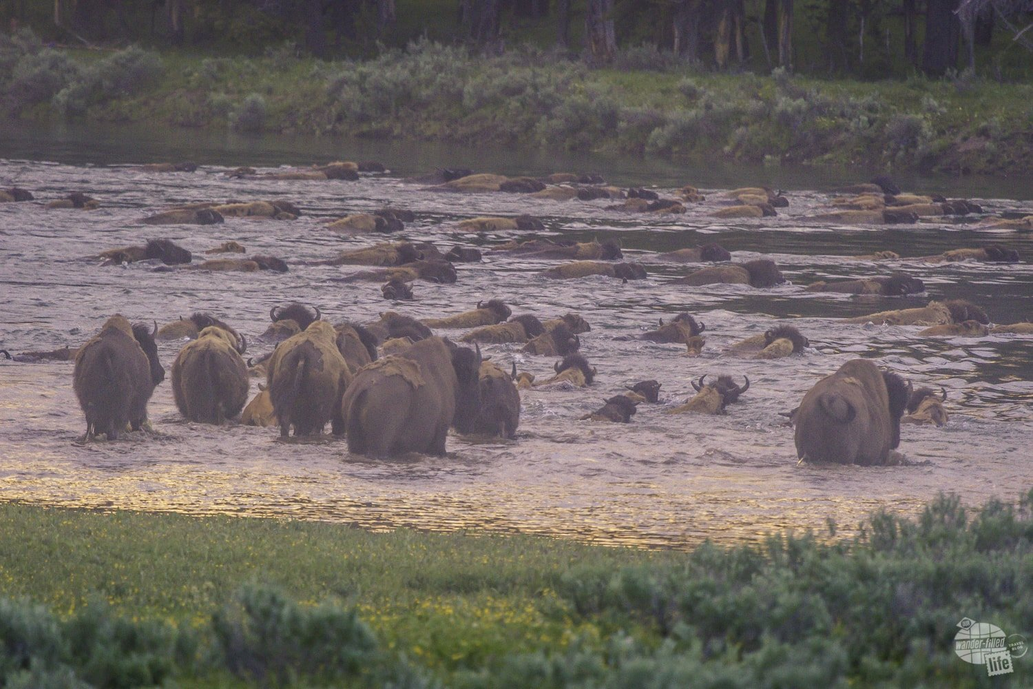 Bison crossing the Yellowstone River.