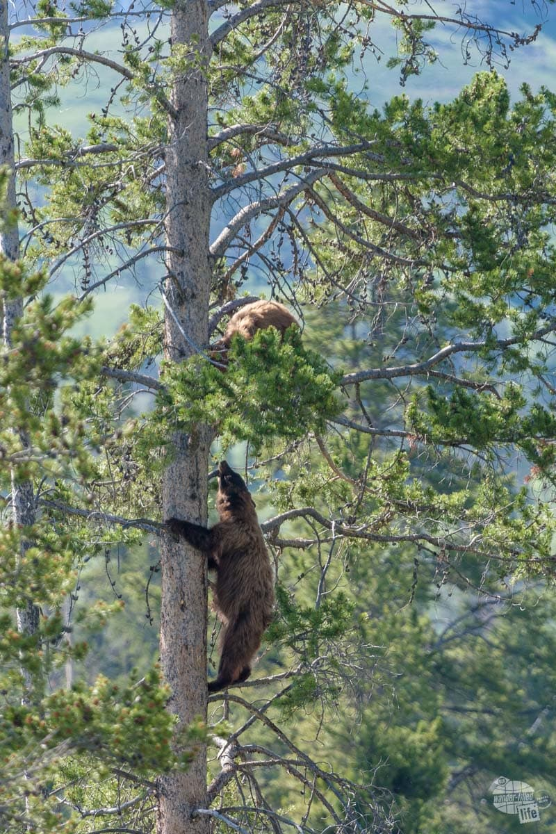 The lower bear treed a smaller female bear after attempting to mate with her.