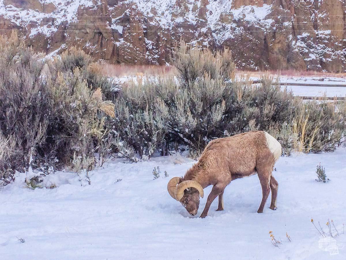 Bighorn sheep outside of Cody