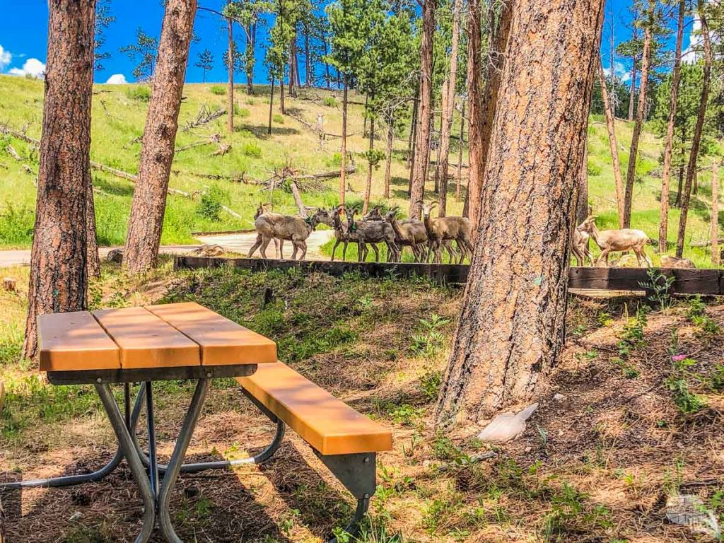 A herd of bighorn sheep in the picnic area at Jewel Cave National Monument.