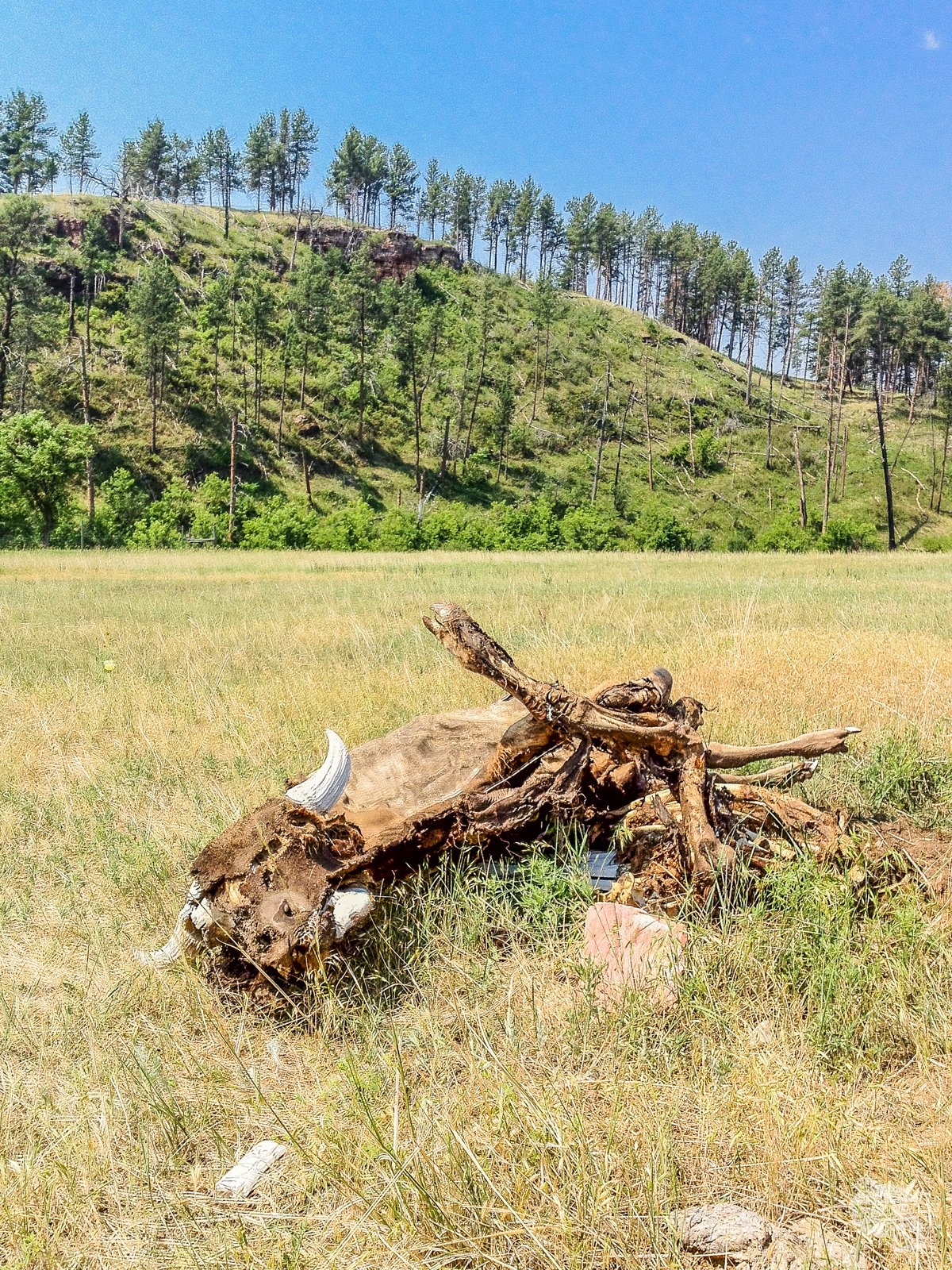A bison carcass along the Lookout Point Trail.
