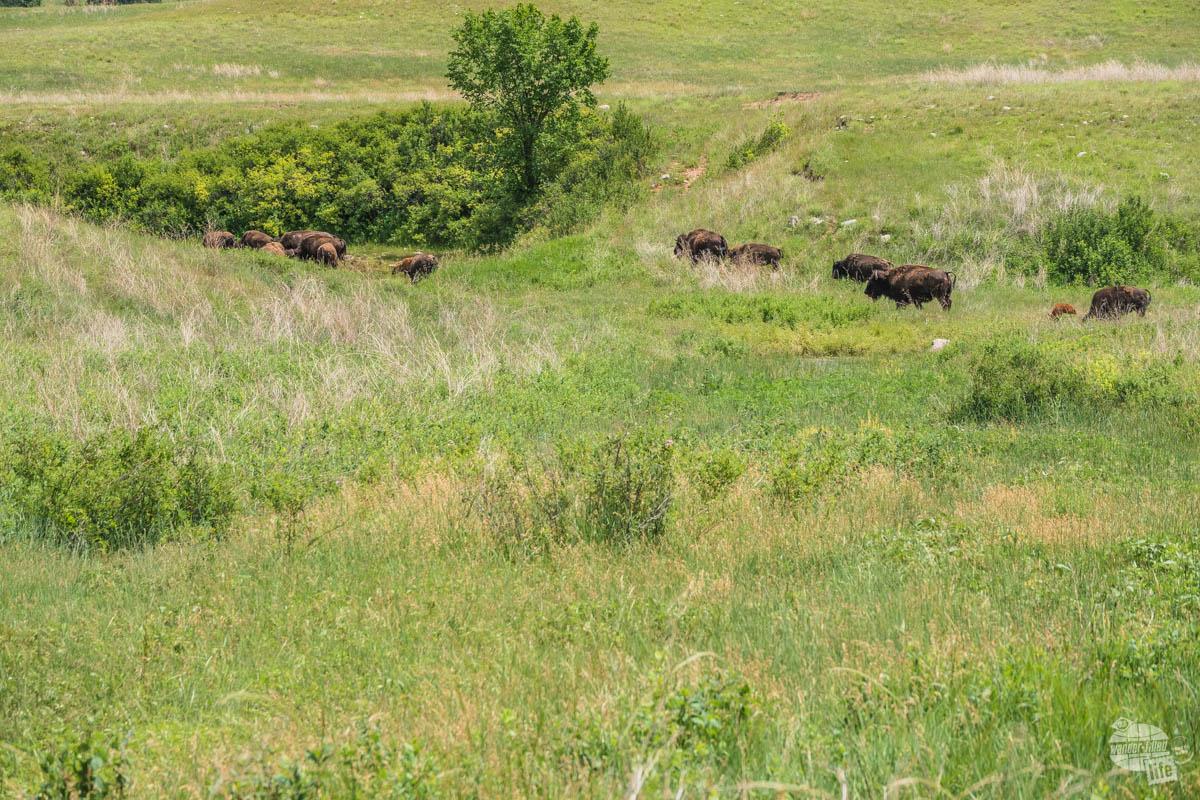 Bison herd in Wind Cave National Park.