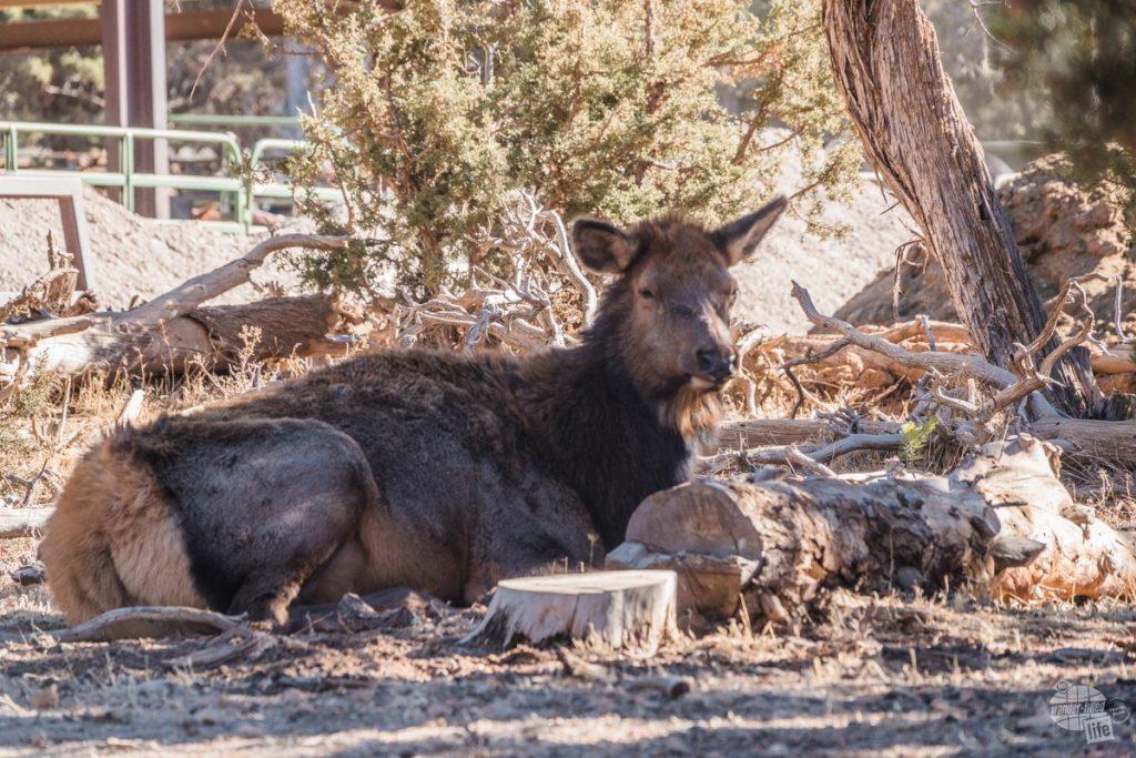 Elk at Grand Canyon NP.