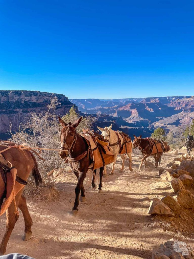 Watch out for mules along the South Kaibab Trail.