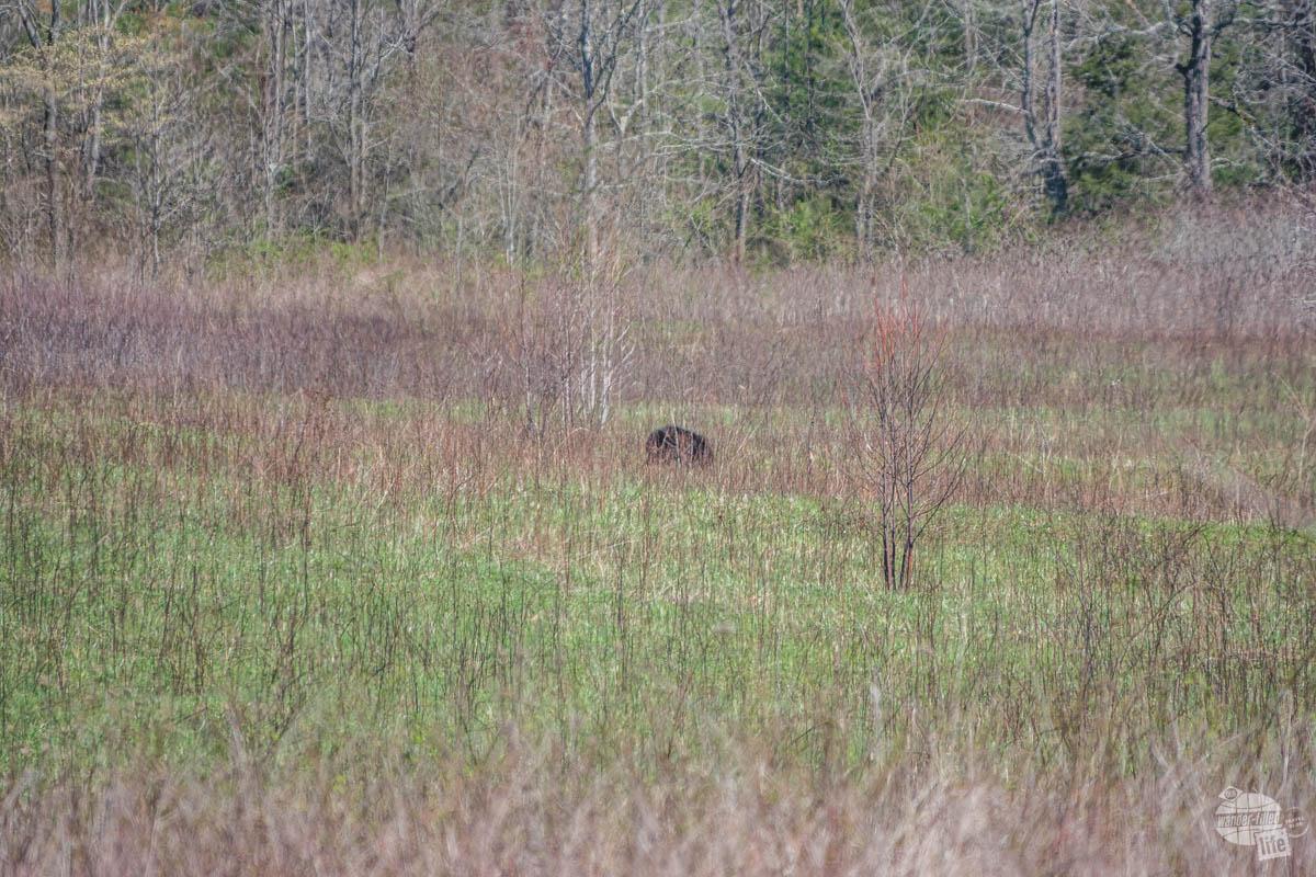 Black bear at Great Smoky Mountains NP